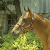 LEATHER HALTER WITH ROLLED NOSEBAND