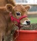 NYLON CATTLE HALTER - MCS200